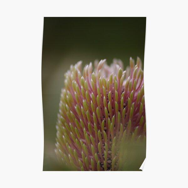 Banksia menziesii Poster