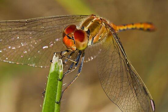 Tau Emerald Dragonfly by Jason Asher