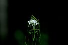 Garlic Mustard by Mike Oxley