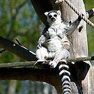 Ring-tailed Lemur #2 by MarianaEwa