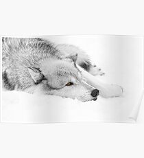 Wolf Laying in Snow Poster