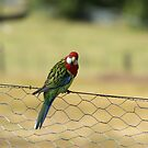 Eastern Rosella by Meaghan Roberts