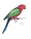 King Parrot by Meaghan Roberts