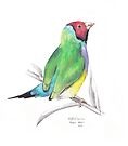 Gouldian Finch by Meaghan Roberts