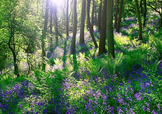 Bluebell Woods by Angie Latham