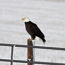 An Eagle's Stance by Sandy Shiner-Swanson