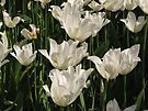 White Tulips by Carol Bleasdale