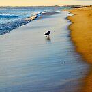 Seagull on Plum Island Beach in Newburypor by danachirps