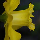 Yellow Daffodil by Lindie Allen