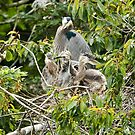 Baby Great Blue Herons on the Nest by David Friederich