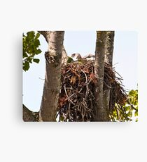 Baby Red Tailed Hawk Canvas Print