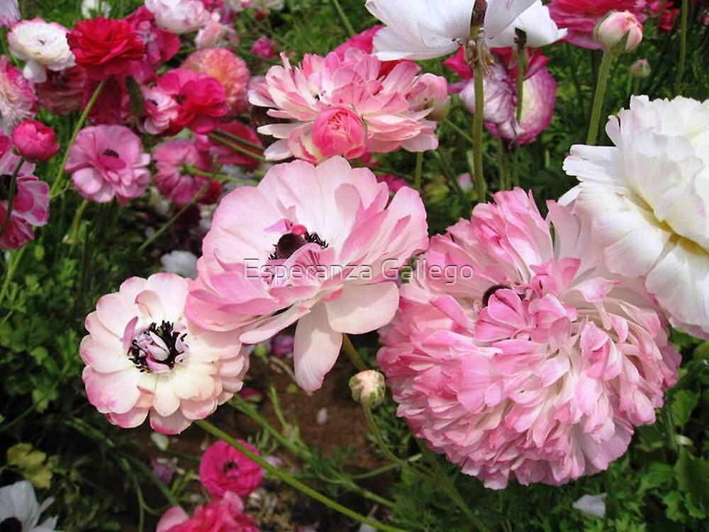 The beauty of the Ranunculus by Esperanza Gallego