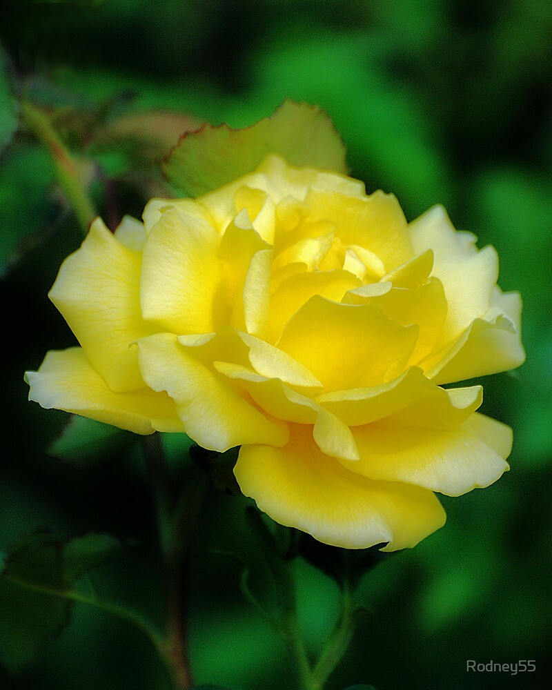 yellow rose by Rodney55