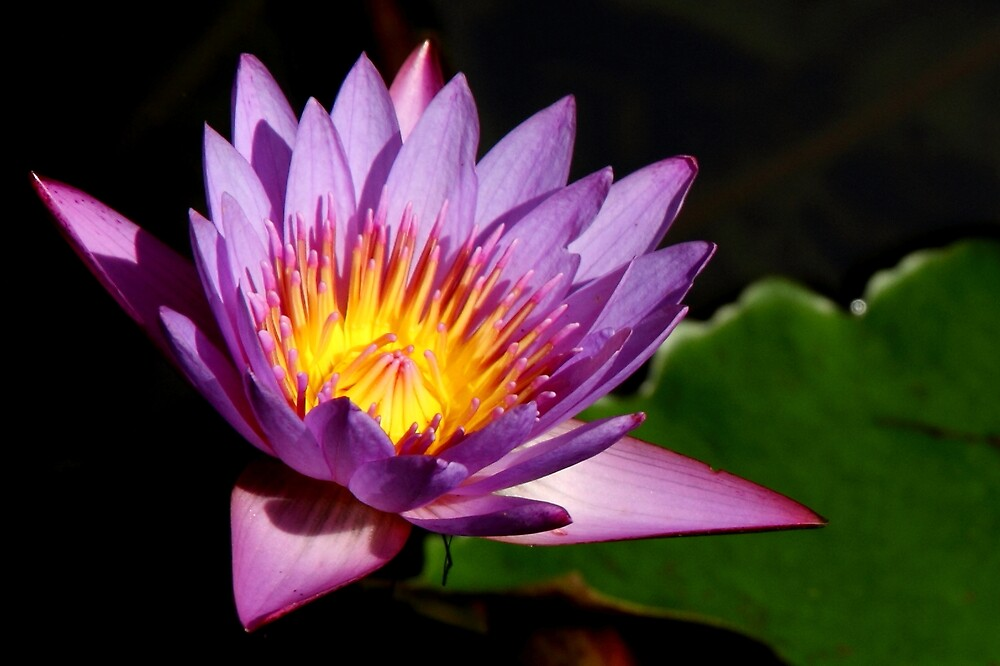 Water Lily by jhueilee