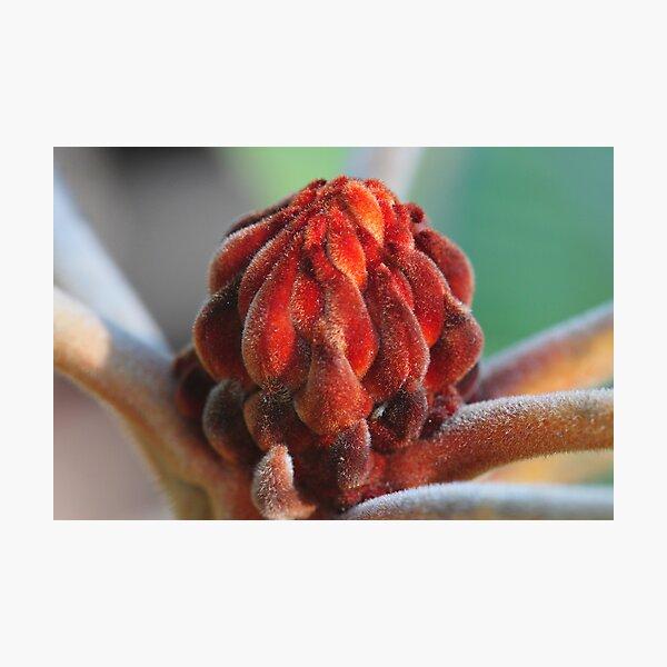 Banksia Robur Photographic Print