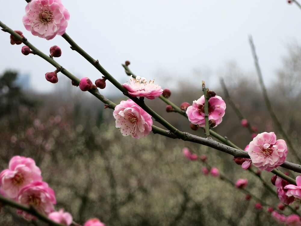 Asian Plum Blossom Flowers by Mitchell Blatt, China Travel Writer