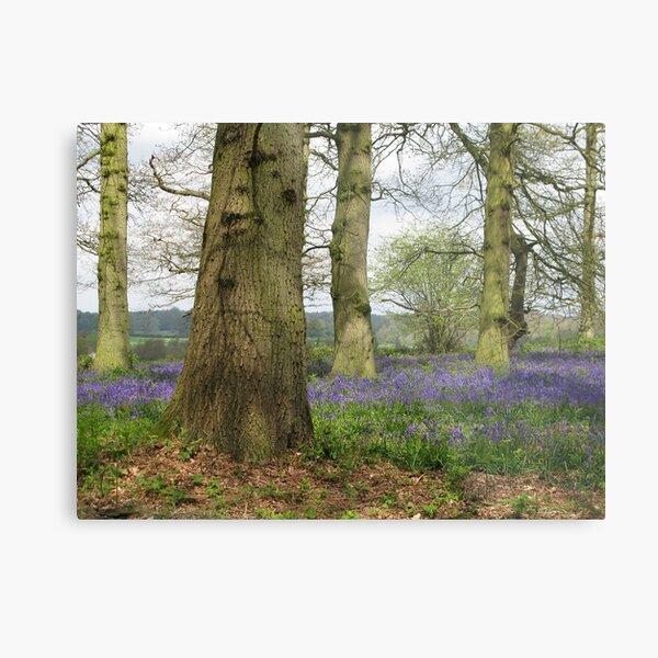 Bluebells Woods Metal Print