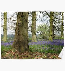 Bluebells Woods Poster