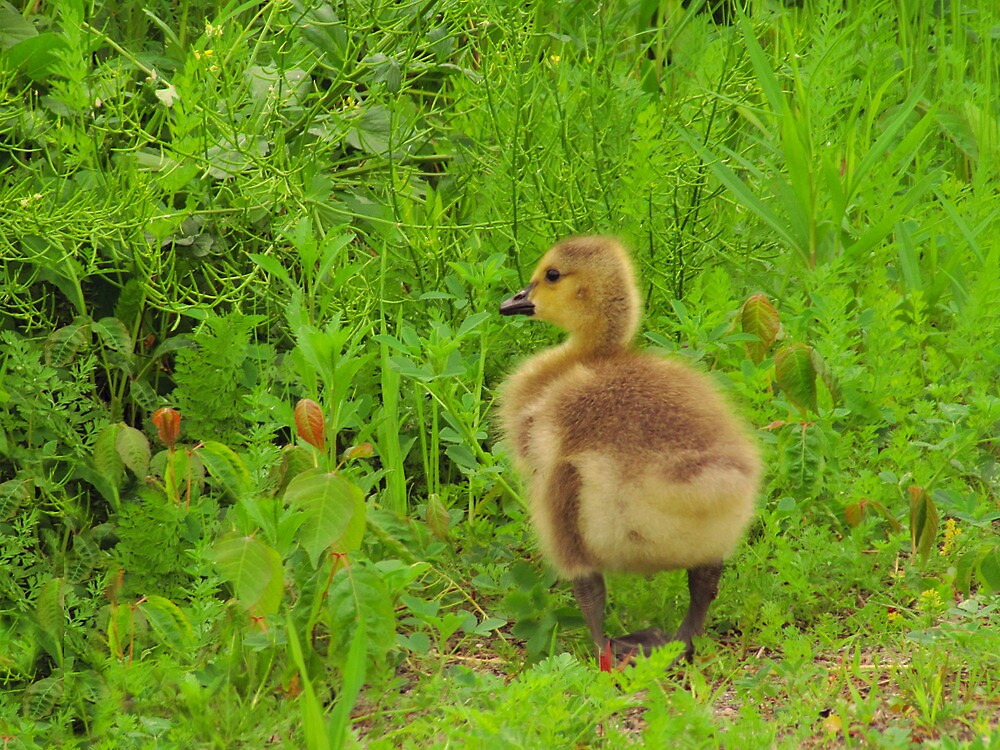 Curious Gosling by Pamela Phelps