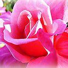 Magic Pink, - Peter Frankenfeld by EdsMum