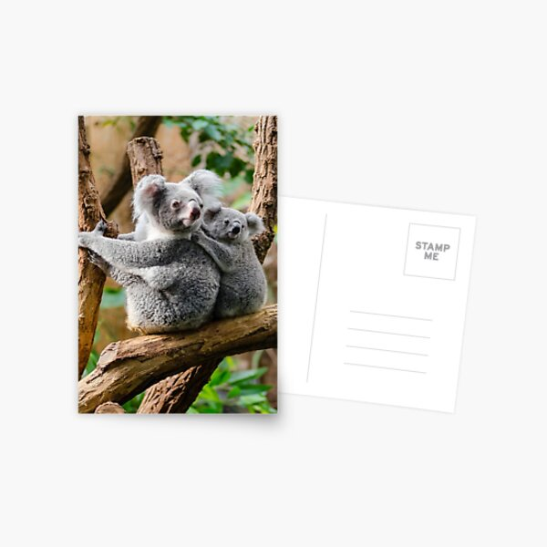 Mother Koala And Baby Koala Postcard