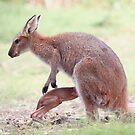 Baby Känguru Joey 01 von kevin Chippindall