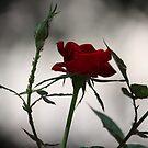 Red Rose 2537 by João Castro