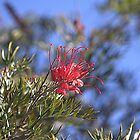 Robyn Gordon Grevillea at Kings Park Perth WA by TeAnne