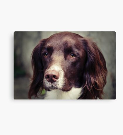 English Springer Spaniel Canvas Print