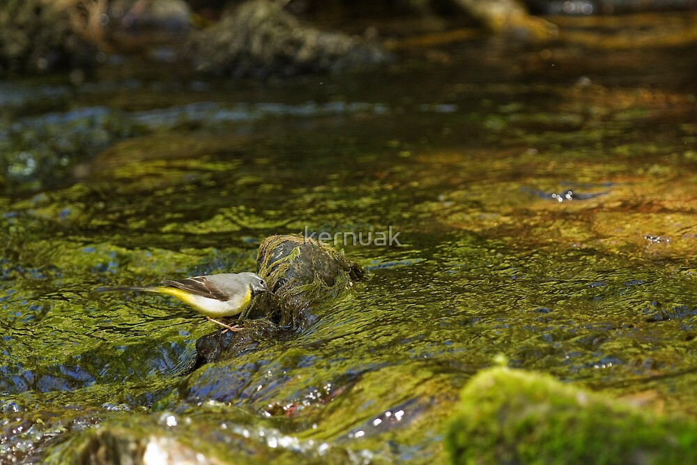 Grey Wagtail Hunting for Food by kernuak