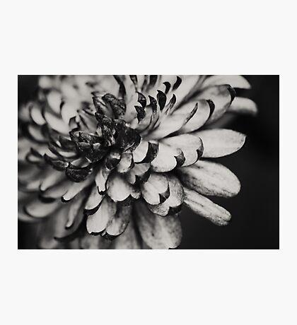 Clematis Photographic Print