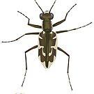 Puritan tiger beetle, Ellipsoptera puritana by the vexed  muddler