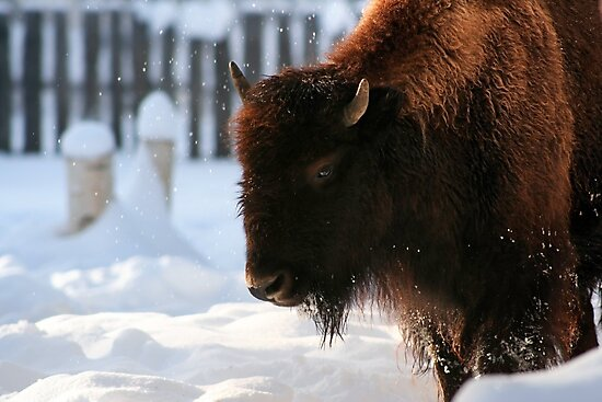 Bison VIII by Wroth