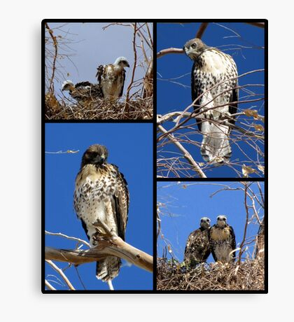 Red-tailed Hawks ~ Babies Collage Canvas Print
