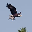 Bald Eagle Takes a Baby Heron by David Friederich