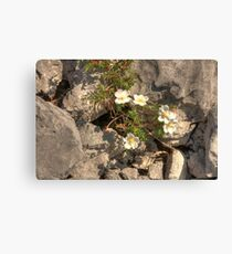 Burnet Roses Canvas Print