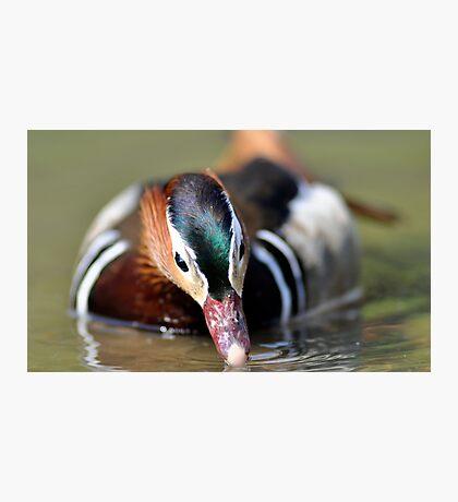 Mandarin Duck - Drinking Photographic Print