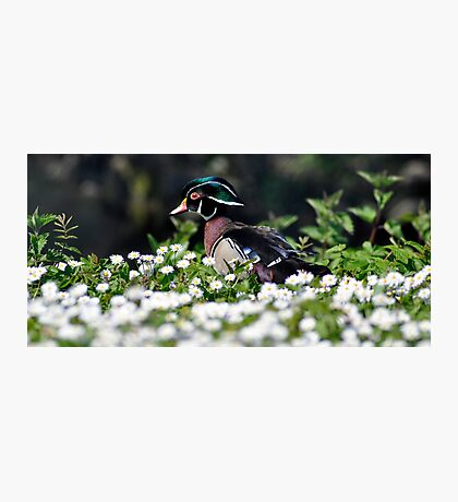 Wood Duck amongst the daisies Photographic Print