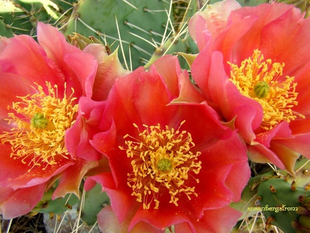 Cactus Showoff  by Susan  Bergstrom