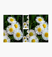 Fleabane Fiasco Photographic Print