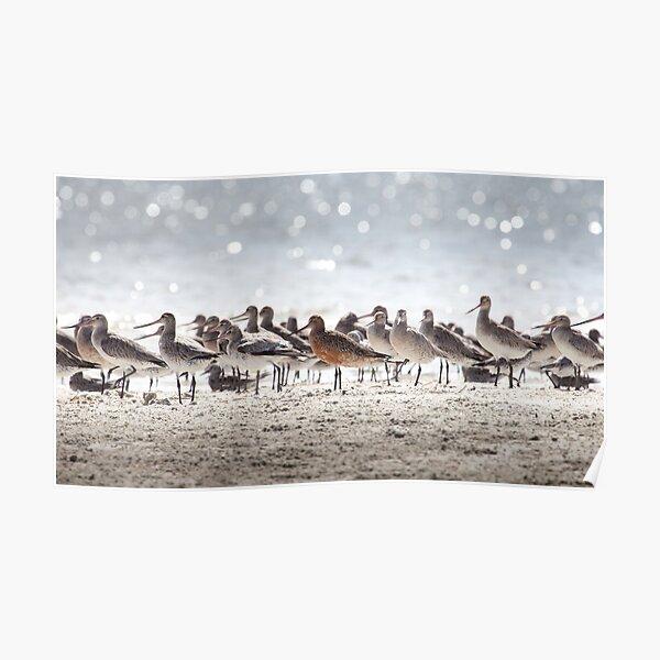 Bar-tailed Godwit Poster