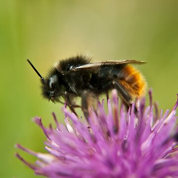 Bee on a thistle macro by InspiraImage