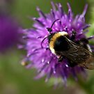 Bumble Bee on a thistle macro by Vicki Field