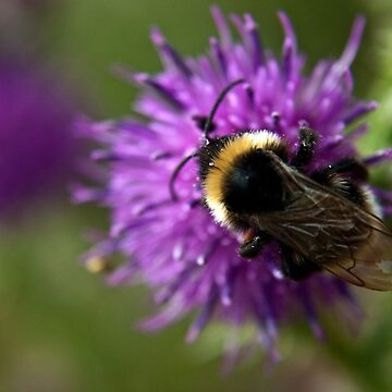 Bumble Bee on a thistle macro by InspiraImage