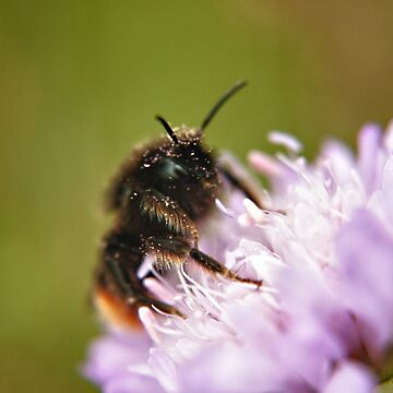 Pollen Covered Bee macro by InspiraImage