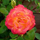 A Technicolour Coloured Rose by stevealder