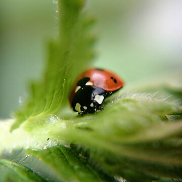 Ladybug on leaf by InspiraImage