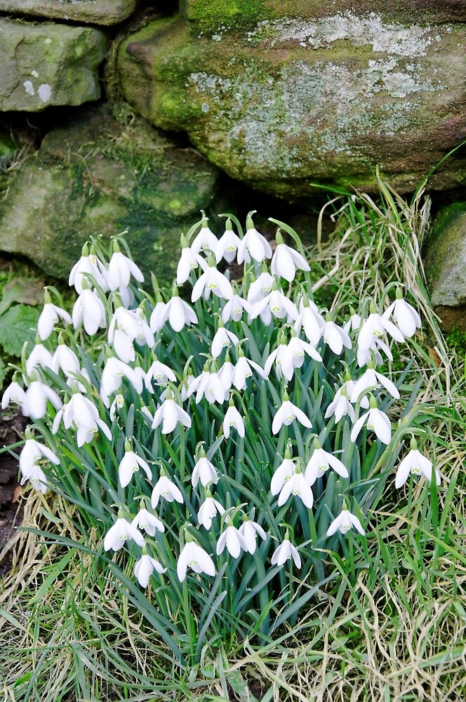 Snowdrops by the Wall by Rod Johnson