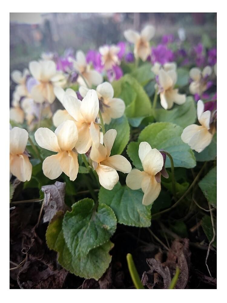 Veilchen in Blüte von Gourmetkater