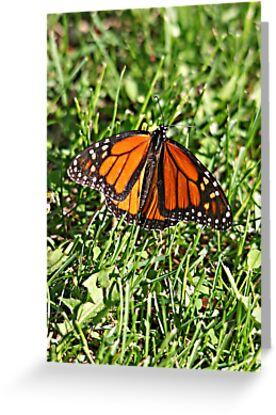 Monarch Butterfly in May? by Vickie Emms
